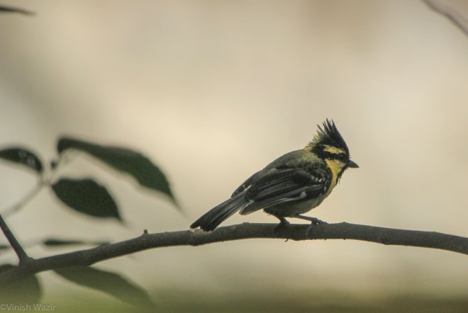 Black Lored Tit