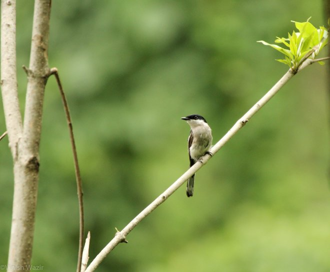 Bar Winged Flycatcher Shrike