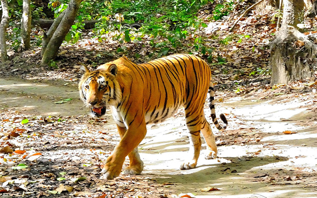 Corbett-National-Park-Tiger