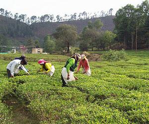 Shyamkhet-Tea-Garden