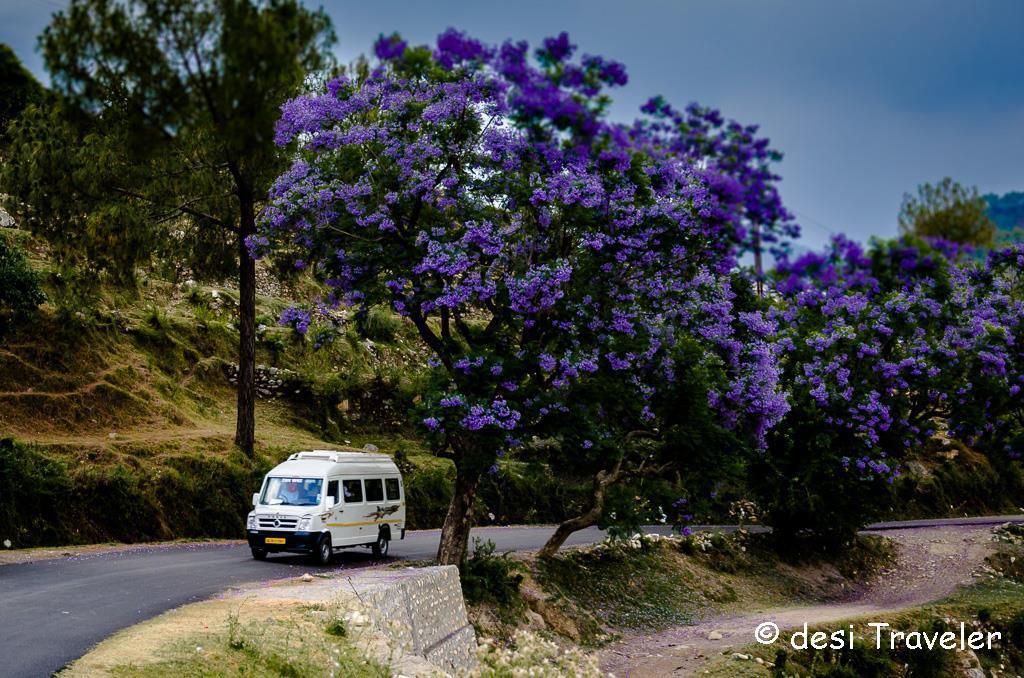 jacaranda-trees-flowers